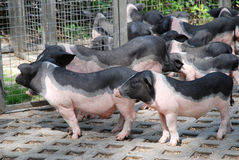 Group of piglets Stock Photos