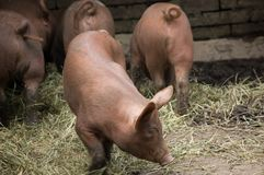 A group of piglets on a piggery. Six piglets and a sow on a piggery royalty free stock photo