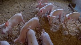 Group of piglets. stock footage