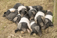 Group of piglets sleeping. On top of eachother Royalty Free Stock Photo