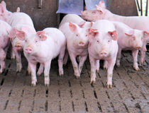Group of pigs Royalty Free Stock Photography