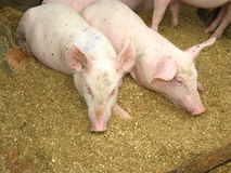 Group of pigs in farm yard Stock Photo