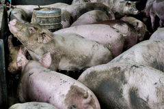 Group Pigs in Pigsty farm. Stock Photo