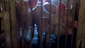 Group of pigs. stock video footage