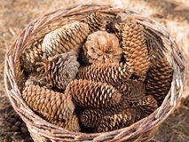 Group of pine cones in basket Stock Photography