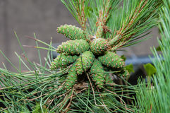 Group of pine cones on a conifer Royalty Free Stock Photos