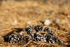 Group of Pine Cones Framing Forest Floor Background Royalty Free Stock Photo
