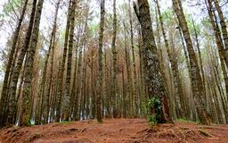 Group of pine tree in forest. Also show forest floor made of brown soil Royalty Free Stock Photos