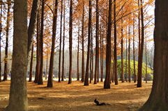 A group of Pine Tree in Nami Island. Autumn season in south korea, most leaf and plant started to fall and withers. This place situated in Nami Island, a tiny stock image
