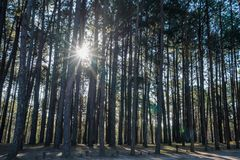 Group of pine tree in national park Royalty Free Stock Image