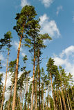 Group of pine trees. Royalty Free Stock Photography