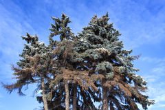 Group of pine trees. Against the blue sky Royalty Free Stock Image