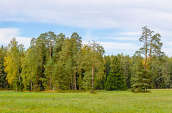 Group of pine trees Stock Photography