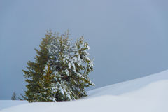 Group of pine trees in the snow Stock Photography