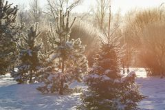 Group of pine trees on sunny day stock image