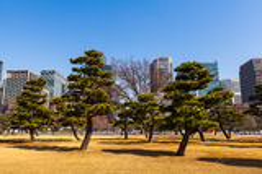 Group of pine trees in Tokyo Gaien Stock Images