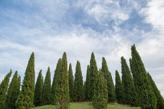 Group of pine trees on top of green grass hill Royalty Free Stock Photography