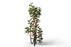 Group of pines Stock Photos