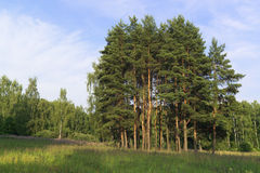 Group of pines. Summer time stock photo