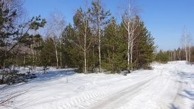 A group of pines and birches against the blue sky. And a snowy road. Landscape illuminated by the sun. February March. The beginning of spring Stock Photo