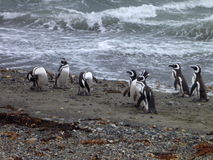 Group of pinguins on a shore in seno otway reservation in chile Stock Photography