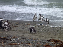 Group of pinguins on a shore in seno otway reservation in chile Stock Images