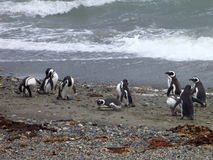 Group of pinguins on a shore in seno otway reservation in chile Royalty Free Stock Photography