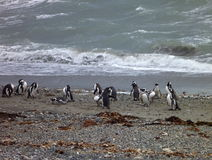 Group of pinguins on a shore in seno otway reservation in chile Royalty Free Stock Photos