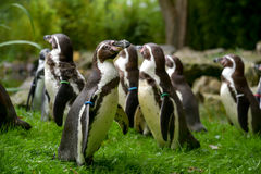 Group in pinguins Royalty Free Stock Image