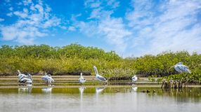 The group of Pink-backed Pelicans or Pelecanus rufescens is resting on the surface in the sea lagoon in Africa, Senegal. It is a. Wildlife photo of bird in wild stock photos