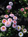 Pink bellis perrenis Stock Photography