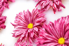 Group of pink chrysanthemum flowers Stock Photos