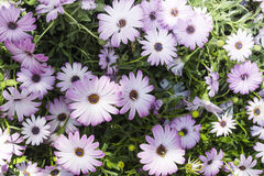 Group of pink daisy Stock Photo
