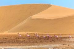 Group of pink flamingo bird marching along the dune in Kalahari Desert. Namibia stock photos