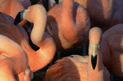 Group of pink flamingo birds Royalty Free Stock Image