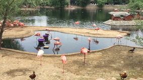 Group of pink flamingo birds. On the lake stock footage