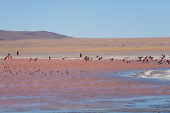 Group of pink flamingo flying over salt lake, Bolivian Andes Stock Photography