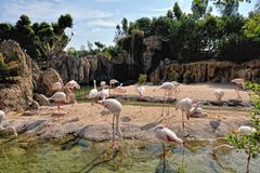 A group of pink flamingo in natural environment. Royalty Free Stock Images