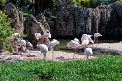 A group of pink flamingo in natural environment. Royalty Free Stock Photography