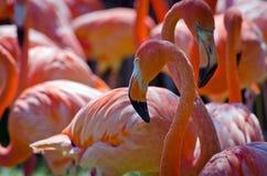 Group of pink flamingo Stock Photo