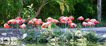 Group of pink flamingo wading birds Stock Photos