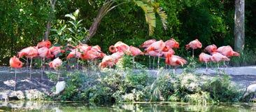 Group of pink flamingo wading birds Stock Photos
