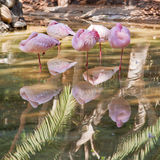 Group of pink flamingoes asleep Royalty Free Stock Photo