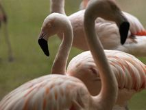A group of pink flamingos Royalty Free Stock Images