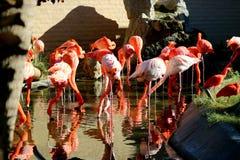 Group of pink flamingos Royalty Free Stock Photo