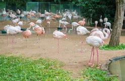 Group of pink flamingos eating in lake. Foz do Iguacu,  Brazil -july 9, 2016: Group of pink flamingos eating in lake in Foz do Iguacu, Brazil Stock Photos