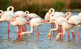 Group of pink flamingos Stock Images