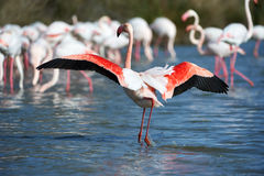 Group of pink flamingos Stock Image