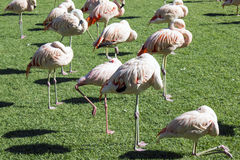 Group of pink flamingos in green  park Royalty Free Stock Photos