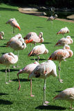 Group of pink flamingos in green  park Royalty Free Stock Images